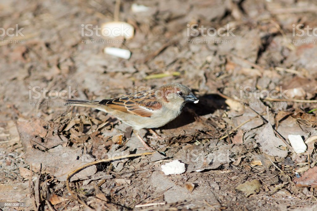 Portrait of a hungry sparrow royalty-free stock photo