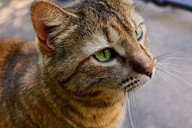 Portrait of a hunter - a tabby cat waiting patiently for dinner. stock photo
