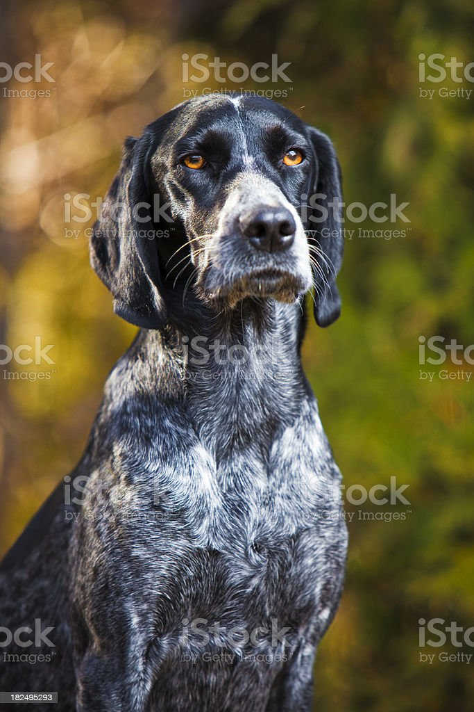 Portrait of a hunting dog stock photo
