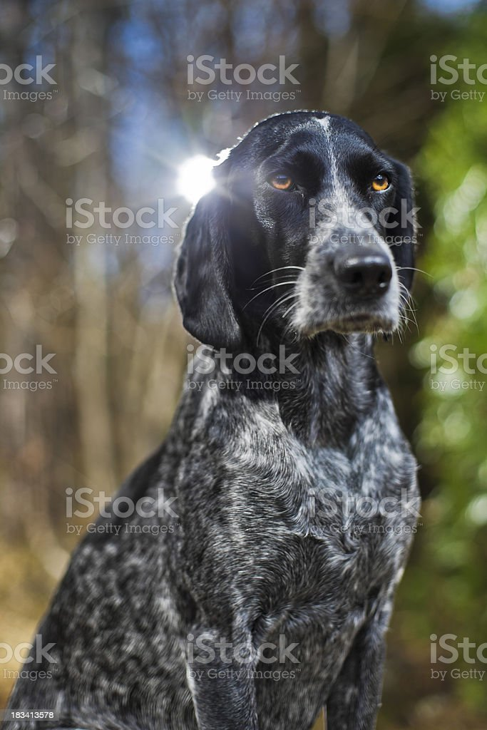 Portrait of a hunting dog royalty-free stock photo