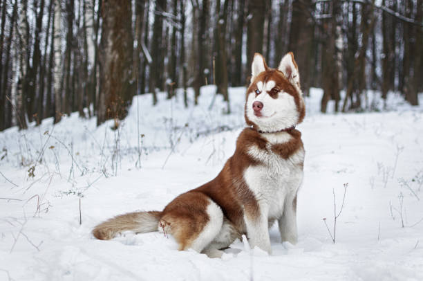 Portrait of a Husky dog in the winter forest stock photo