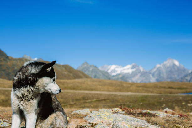 Porträt eines Husky-Hundes – Foto