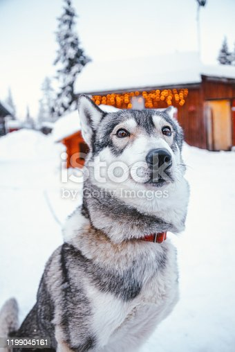 Portrait of a siberian husky sled dog with brown eyes looking at camera in the snow resting outdoors before sled ride