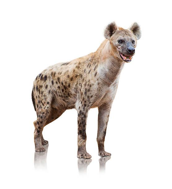 portrait of a hyena - hyena stockfoto's en -beelden