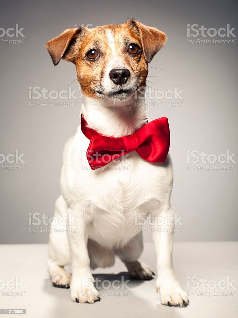 Portrait of a Jack Russel Terrier stock photo