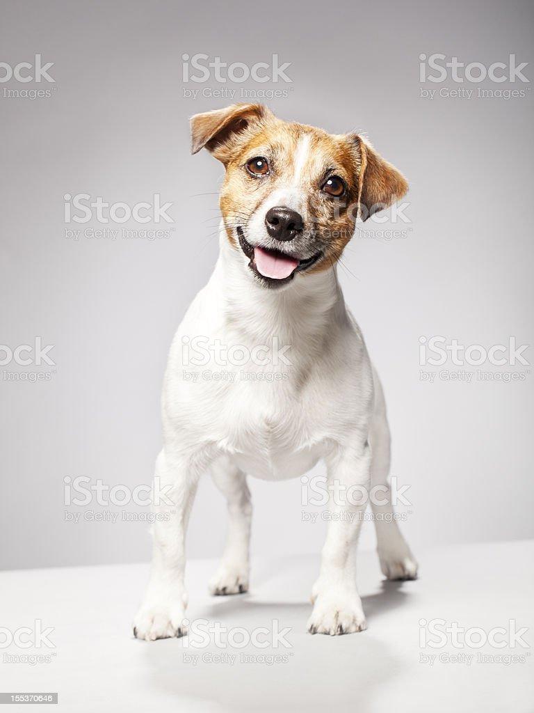Portrait of a Jack Russel Terrier stock photo
