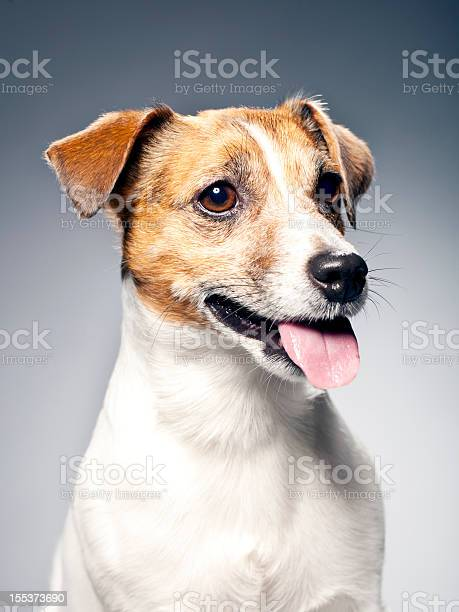 Portrait of a jack russel terrier picture id155373690?b=1&k=6&m=155373690&s=612x612&h=bm szhntdccyfubju2uxsvolzbat4mqyjaggzaclhja=