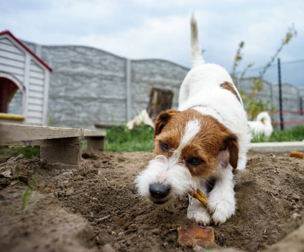 Portrait of a jack russell terrier dog eating meat in a spring garden full of sunshine.