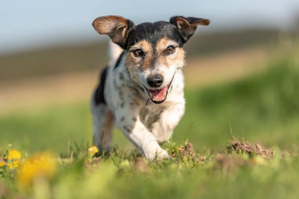 Porträt eines Jack Russell Terrier Hundes im Freien in der Natur gegen einen blauen Himmel – Foto