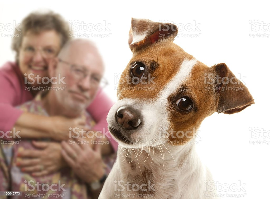 Portrait of a Jack Russell terrier royalty-free stock photo