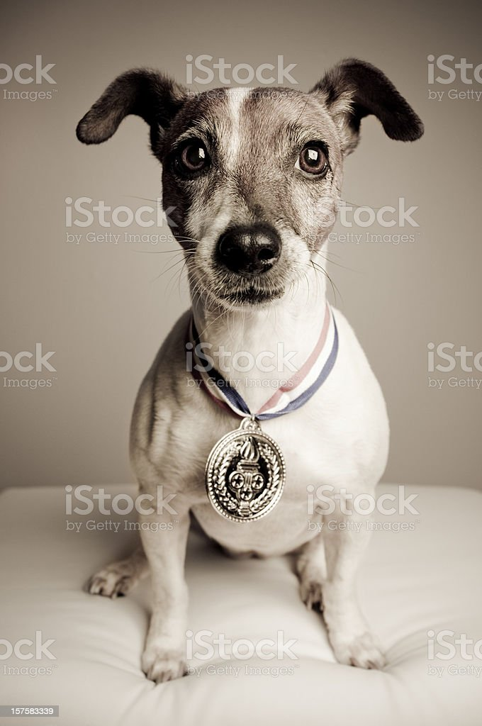 Portrait of a Jack Russell Terrier With Gold Medal royalty-free stock photo