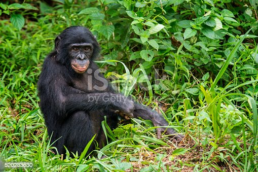 Juvenile Bonobo (Pan paniscus) playing in the bamboo forest. The Bonobo is one of the great apes (as well es Gorilla, Chimpanzee and Orang Utan). In former times Bonobos were also called pygmy chimpanzee. The only place where Bonobos could be found is the Tropical Rainforest in the Congo Basinof the Democratic Republic of the Congo, south of the Congor River.