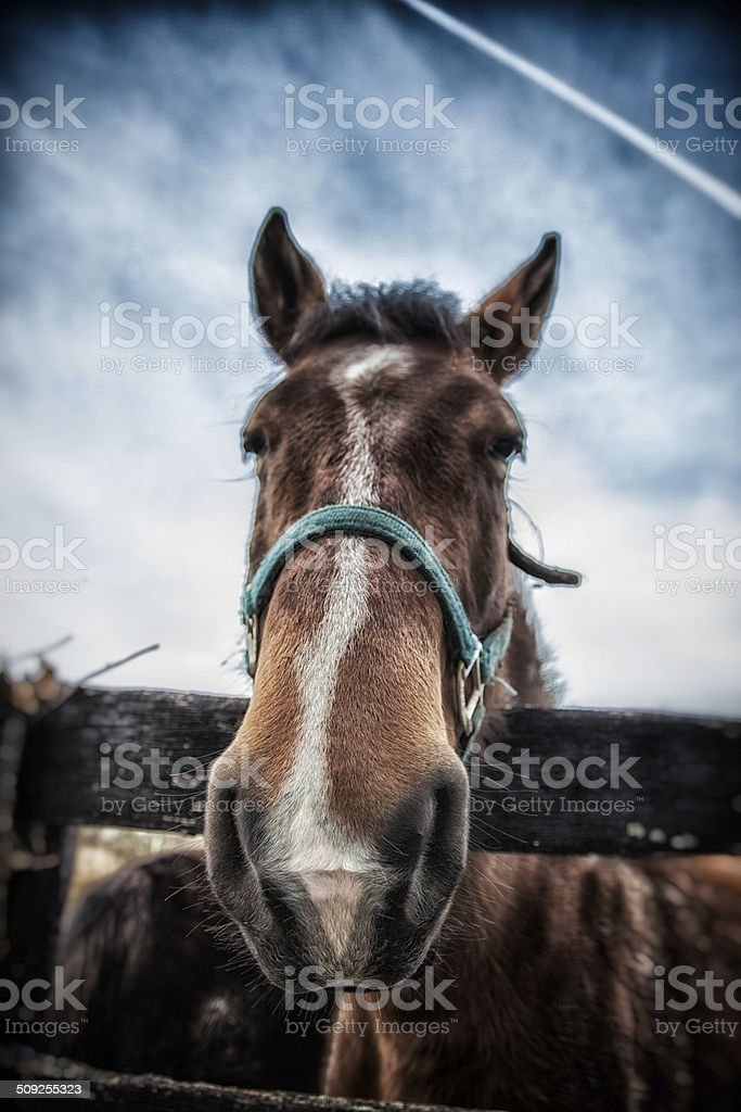 Portrait of a Kentucky Horse royalty-free stock photo