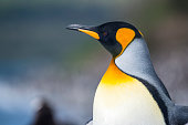 Close-up Portrait of a King penguin, Tierra del Fuego, Patagonia