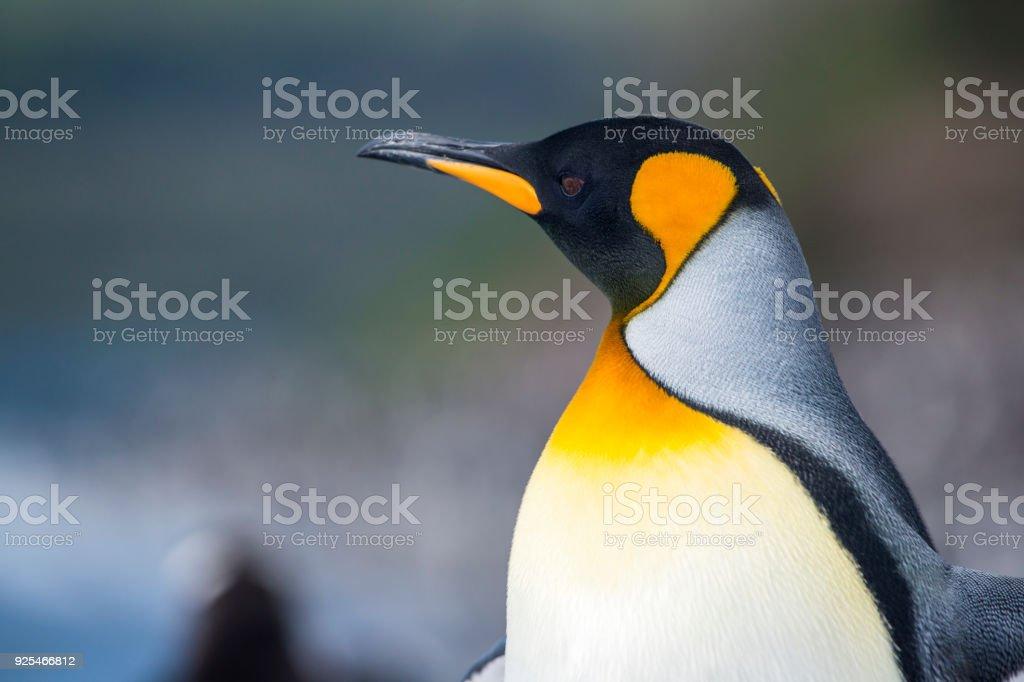 Portrait of a King penguin, Tierra del Fuego, Patagonia stock photo