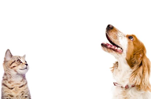 porträt eines kitten scottish straight und hund russischer spaniel - glückliche welpen stock-fotos und bilder