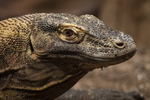 royalty free komodo dragon eating pictures images and stock photos