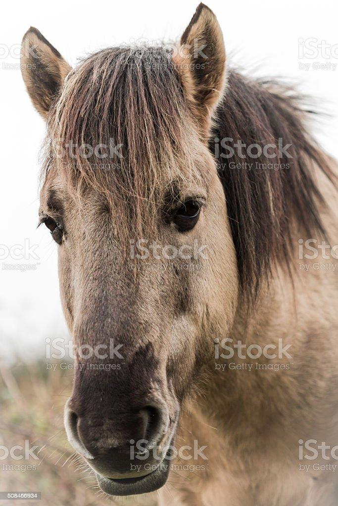 Porträt eines Koniks Pferd. – Foto