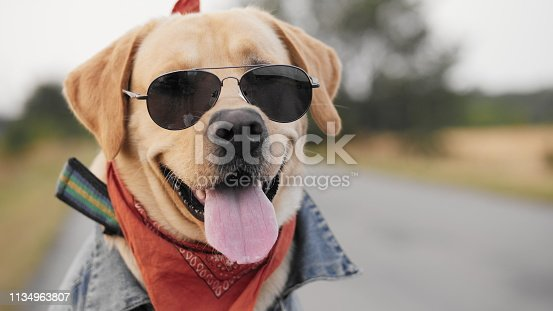 Portrait of a biker Labrador dog in sunglasses posing on camera