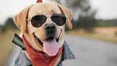 istock Portrait of a Labrador dog in sunglasses 1134963807