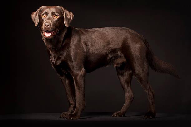 Portrait of a labrador picture id175389013?b=1&k=6&m=175389013&s=612x612&w=0&h=eczb1yf7qwj4k9bnkcjqdtbwn vjhbhechxq5adhjwo=