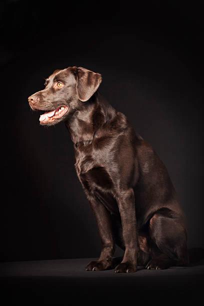 Portrait of a labrador picture id175402223?b=1&k=6&m=175402223&s=612x612&w=0&h=azxfqld60xdithwud6yt 9f vigc8vnuybs reacpzu=