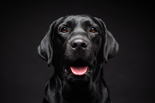 Portrait of a Labrador Retriever dog on an isolated black background. The picture was taken in a photo Studio.