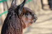 Portrait of a Lama, scientific name Lama glama, from the family of camels with fuzzy bokeh in the background, wildlife