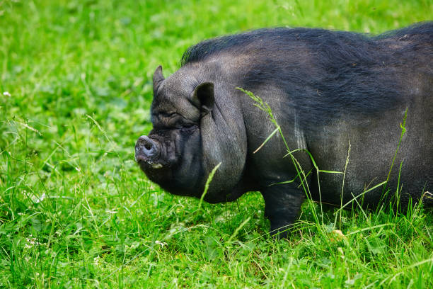 Portrait of a large boar, Vietnamese pot-bellied pigs. stock photo