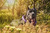 Brauner Hund sonnt sich vor blühenden Rapsfeld