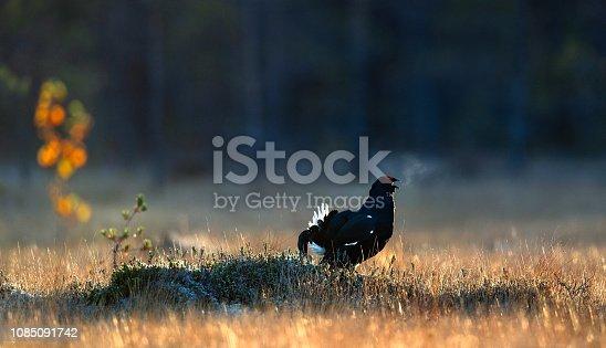Portrait of a lekking black grouse (Tetrao tetrix) with steam breath. Sunrise Backlight. Natural habitat.