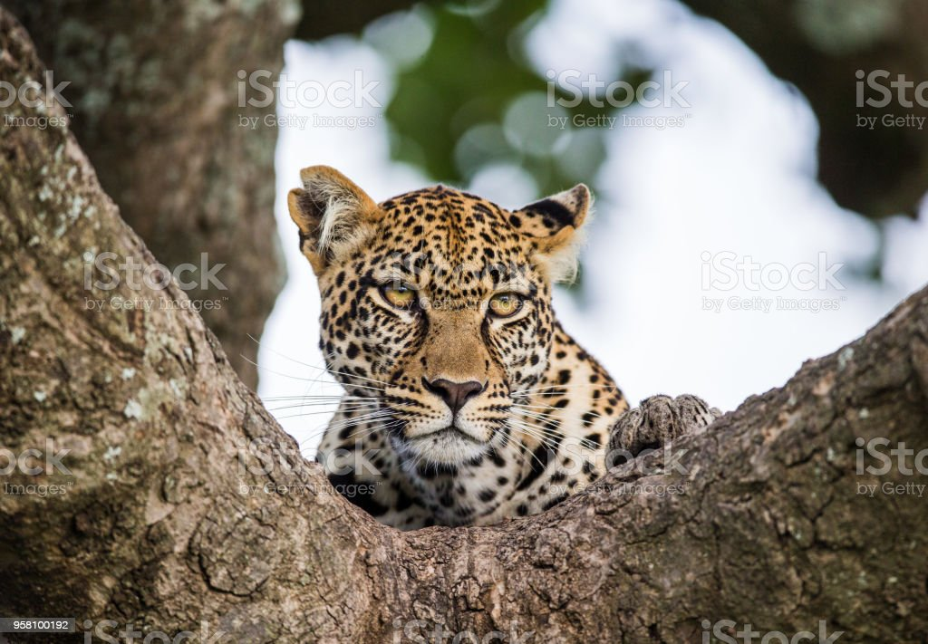 Portrait of a leopard on a tree. stock photo