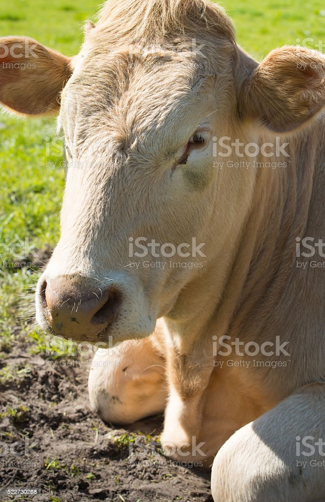 Portrait of a light brown cow lying in grass stock photo