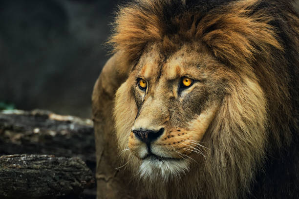 Portrait of a lion from a profile Portrait of a lion from a profile. Poster majestic lion. Photo from animal life. Leo stock pictures, royalty-free photos & images