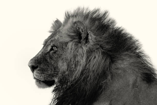 Portrait of a lion in black and white picture id1075661524?b=1&k=6&m=1075661524&s=612x612&w=0&h=bdpc9pzwvetnn67a7wnw5wxkcyg6zbzts8fkzojscm8=