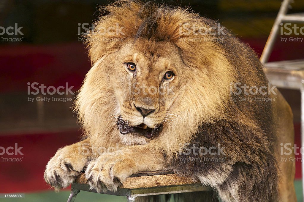 Portrait of a lion in the circus ring stock photo