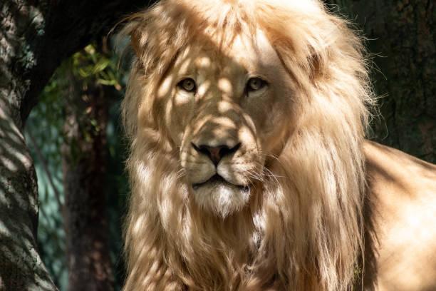 portrait of a lion stock photo