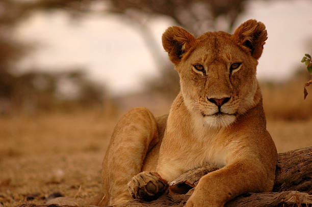 a portrait of a lioness in serengeti laying on the ground - lioness stock photos and pictures