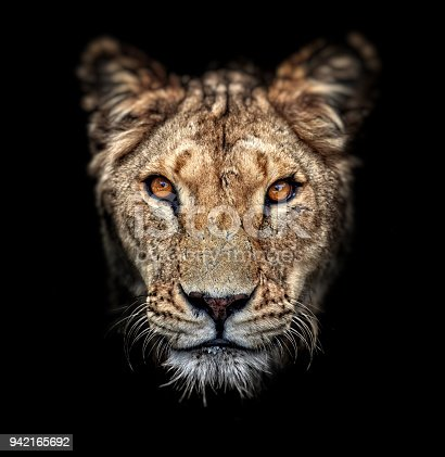 Portrait of a lioness on black background. Lovely Lioness. Close-up African lioness (Panthera leo)