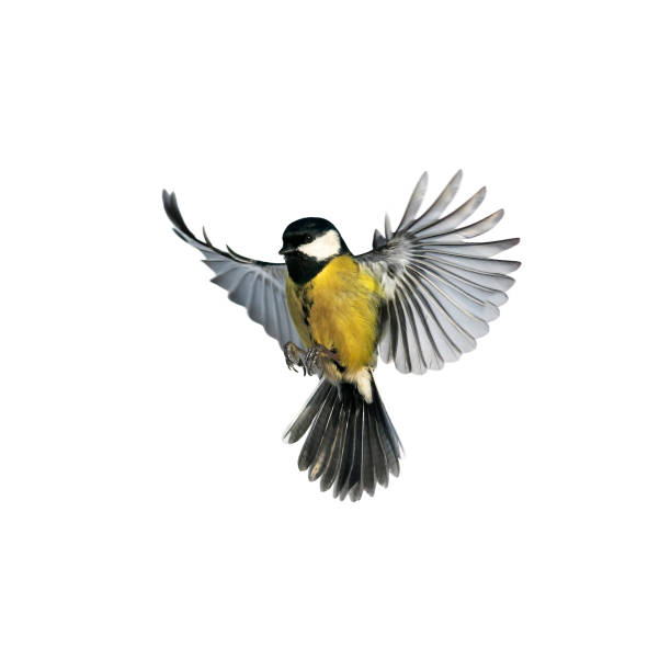 portrait of a little bird tit flying wide spread wings and flushing feathers on white isolated background stock photo