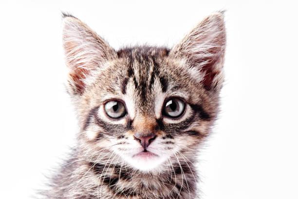 Porträt eines kleinen grau gestreiften Kätzchens auf weißem Hintergrund, nettes kleines Kätzchen, das mit großen Augen in die Kamera schaut – Foto