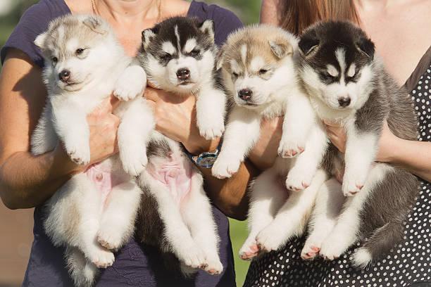 ritratto di un piccolo cucciolo cane husky. - allevatore foto e immagini stock