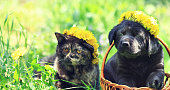 Portrait of a little kitten and puppy of Labrador retriever outdoors. Animals sits on the grass in spring. Cat and dog wearing dandelions wreath.