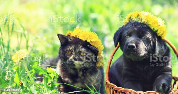 Portrait of a little kitten and puppy of labrador retriever outdoors picture id964398938?b=1&k=6&m=964398938&s=612x612&h=khqokchfbhpe2zd2wrt3bquobse4roqrztzuc8bnthg=
