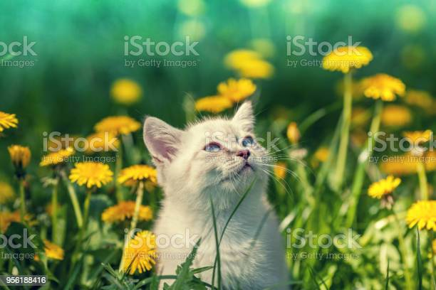 Portrait of a little kitten walking on the dandelion field picture id956188416?b=1&k=6&m=956188416&s=612x612&h=rotdm9tfbhlokwk9zuhp aqhi9igoddw53b8ji4dk a=