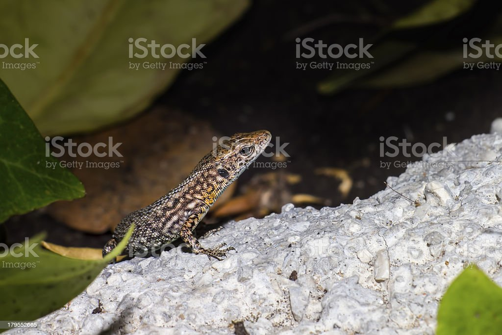 Portrait of a Lizard royalty-free stock photo