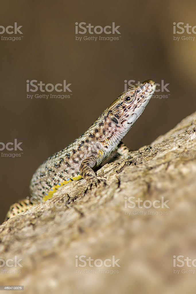 Portrait of a Lizard stock photo