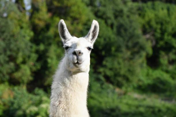 porträt von einem lama in die kamera schauen - lama kamelartige stock-fotos und bilder