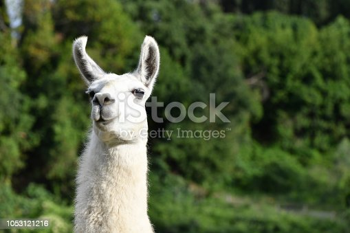A white Llama looking at the camera, with green background