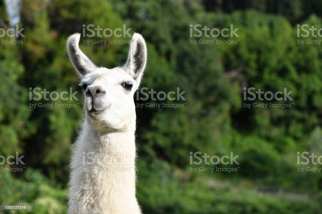 Portrait of a Llama stock photo
